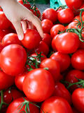 Hand picking tomatoes Royalty Free Stock Photography