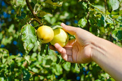 Hand picking two yellow apples from tree branch Royalty Free Stock Images