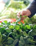Hand picking up Fresh organic  spinach at market Stock Photos