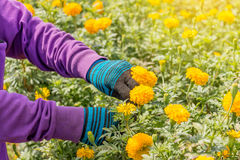 Hand picking up marigold flowers in garden Stock Photo