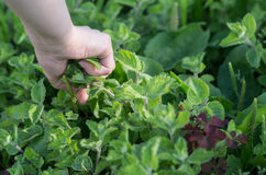 Hand picking up mint in the garden Royalty Free Stock Photography