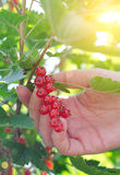 Hand picking up redcurrant Royalty Free Stock Photos