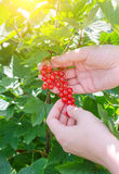 Hand picking up redcurrant Stock Photography
