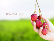 Hand picking up the ripe lychee fruit stock photo