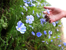 Hand Picking Wildflowers Royalty Free Stock Photos