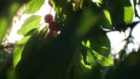 Hand picks cherries at sunset. Woman picks and eats sweet cherries stock video footage