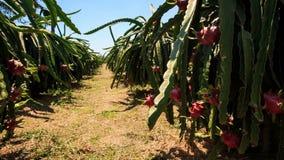 Hand Picks down Dragon Fruit from Plant. Under bright sunlight stock video