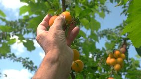 Hand picks fruit from tree. Cherry plums on the branch. Daytime in the garden. Good ecology in rural area stock footage