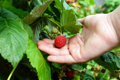 Hand picks raspberries on a branch Royalty Free Stock Photo