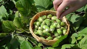Hand picks ripe hazel nutwood nuts wicker wooden dish stock video