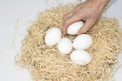 Five eggs in the nest. A hand picks up white eggs from the nest, five eggs in the nest Stock Photos