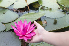 Hand on pink lotus flower in the lake Royalty Free Stock Photo