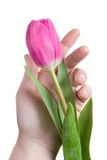 Hand and pink tulip Royalty Free Stock Image