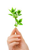 Hand with plant Royalty Free Stock Photo