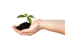 Hand with plant Royalty Free Stock Images