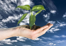 Hand and plant. Hand holding green plant against blue sky Royalty Free Stock Images