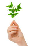 Hand with plant Stock Photo