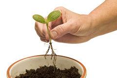 Hand Planting Baby Plant Stock Photos