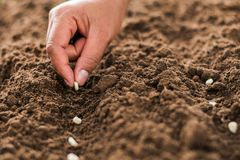 Hand planting corn seed of marrow in the vegetable. Garden stock image