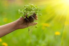 Hand planting plant. Hand planting new garden plant Royalty Free Stock Image