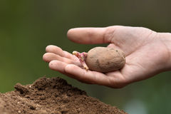 Hand planting potato with sprouts Stock Photography