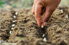 Hand planting pumpkin seed of marrow Royalty Free Stock Photography
