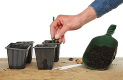 Hand planting seed. Hand planting a runner bean seed into pots on a potting bench Stock Images