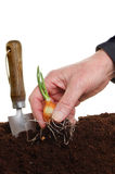 Hand planting a shallot Royalty Free Stock Photos