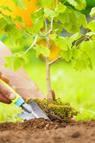 Hand Planting Small Tree with roots in a garden on green backgro Royalty Free Stock Photography