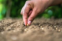 Free Hand Planting Soy Seed In The Vegetable Garden. Agriculture Concept Royalty Free Stock Photo - 155782735