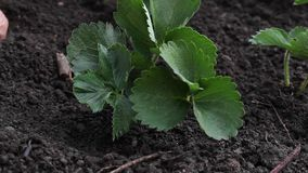 Hand planting strawberry stock video footage