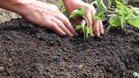 Hand planting strawberry stock video
