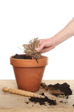 Hand planting a tuber Royalty Free Stock Image