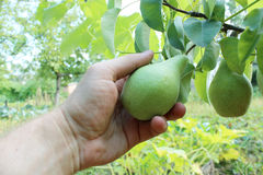 Hand plucking the fruit of pear Royalty Free Stock Photography