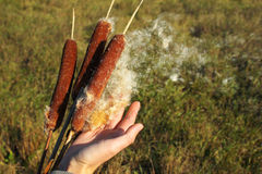 Hand plucking out cottony fluff of a cattail. Ripe head of typha plant disintegrates and the seeds blown by wind royalty free stock photos