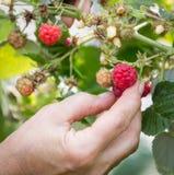 Hand plucks raspberries growing on the bush in garden Stock Photography