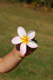 Hand with plumeria flower Stock Photos