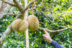 Hand pointing to durian Royalty Free Stock Images