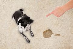 Hand Pointing Toward The Dog Sitting On Dirty Carpet. Elevated View Of Hand Pointing Toward The Dog Sitting On White Dirty Carpet royalty free stock image