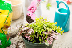 Hand potting plant. Hand wearing pink gloves holding a pink spade potting plants Royalty Free Stock Photo