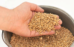 Hand Pouring Wheat Kernels Stock Photos