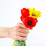 Hand presents a bouquet of red and yellow tulips Royalty Free Stock Images