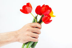 Hand presents tulips on white background Stock Photo
