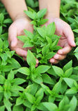 Hand protect basil plant. Hand protect green basil plants in field Royalty Free Stock Photo