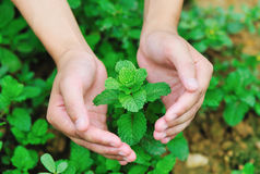 Hand protect mint Stock Image