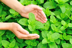 Hand protect mint Royalty Free Stock Images