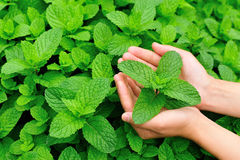Hand protect mint Stock Images