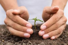 Hand protect small plant grow on soil royalty free stock photo