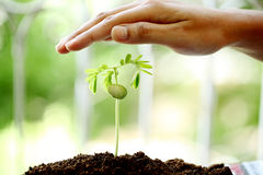 Hand protecting a baby plant Royalty Free Stock Image