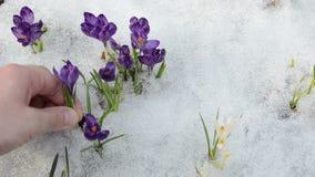 Hand pull tear crocus saffron flower snow in spring garden stock footage